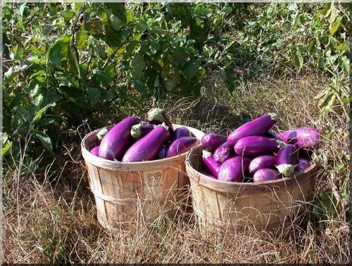 Organically grown eggplants in wicker baskets.