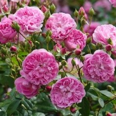harlow carr hedge rose from David Austin.]\