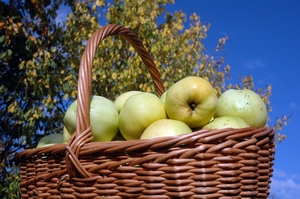 A wicker basket used to harvest apples from the orchard.