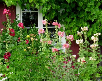 Hollyhocks in a cottage garden.
