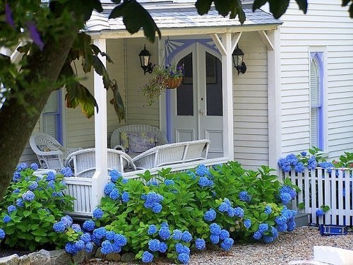 A cottage garden of hydrangeas around an old country home
