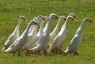 Indian Runner Ducks Thumbnail