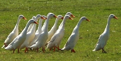 indian runner duck breed