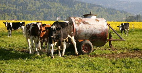 Cattle are covered under livestock insurance.