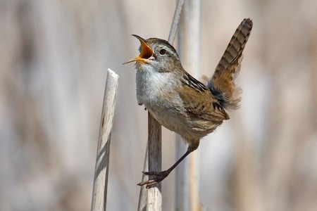a marsh wren with its mouth open