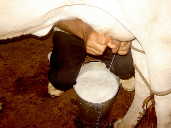milking a cow by hand