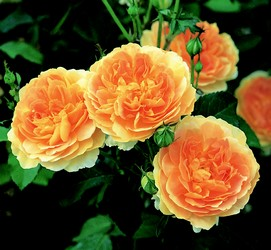 3 blooms from the molineux rose