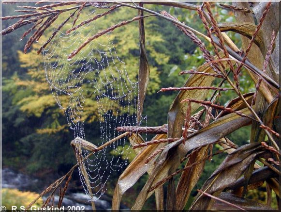 A spider web in a corn field in Massachusetts