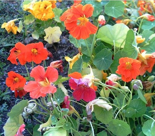 easy to grow nasturtiums in the flower bed