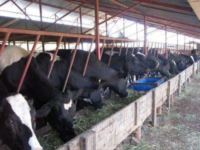 The Dairy Cows