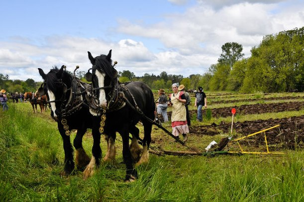 organic farmers using 2 horses to plow the field