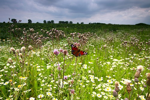 A meadow of wild flowers and a butterfly