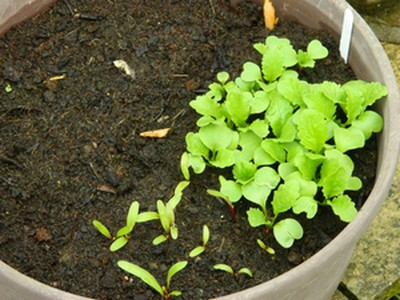 An example of over-planting of vegetables in a container