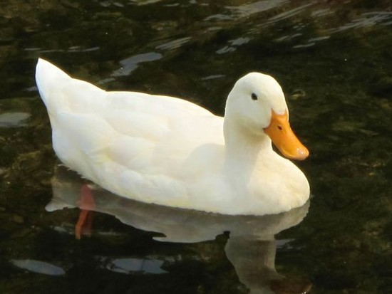 a solitary Pekin duck floating on a pond