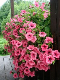 petunias for window boxes