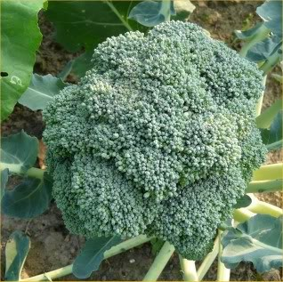 Broccoli ready to be harvested