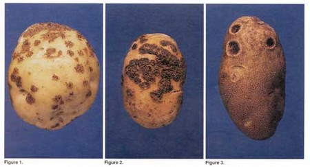 3 examples of potato scab.