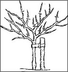 Planting pruning fruit trees thumbnail