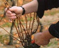 pruning grape canes