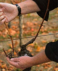 pruning grapes the last 2 canes