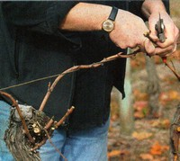 pruning grapes tying canes