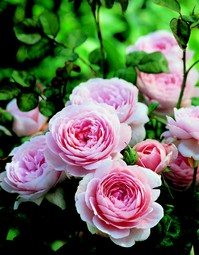 Queen of Sweden David Austin rose as a hedge.