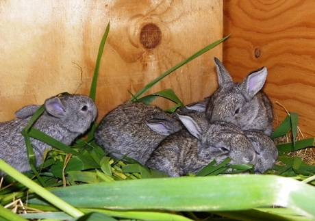 baby Flemish Giant rabbits huddled together in their hutch