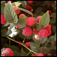 a raspberry plant with the leave and berries