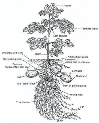 A diagram showing how potatoes grow