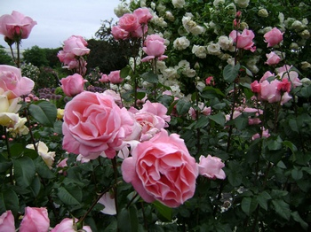 mixed rose bed