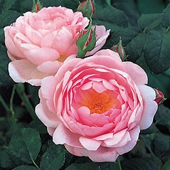 2 pink blooms from Scepter'd Isle