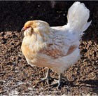 Natural Home Remedies for Sick Chickens