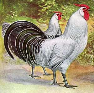 silver-pencilled-hamburg-chickens