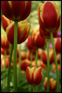 A field of spring tulips.