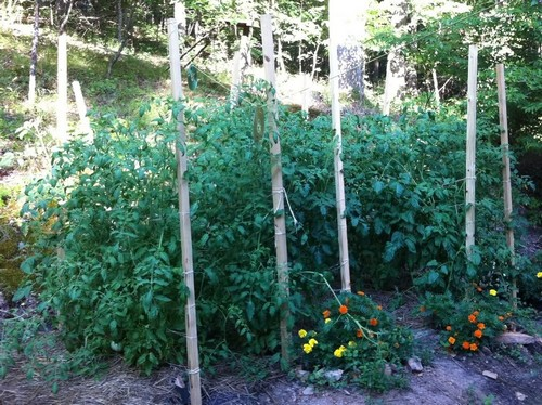 An example of staking tomato plants