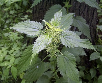 stinging nettles or common nettles