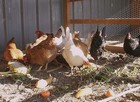 What do chickens eat thumbnail