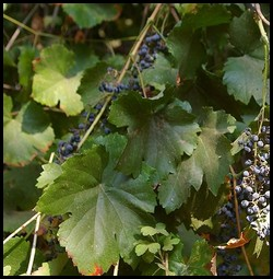 wild black grapes