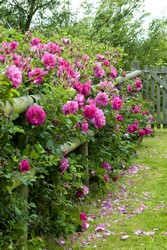 Wild Eric a pink rose used as a hedge