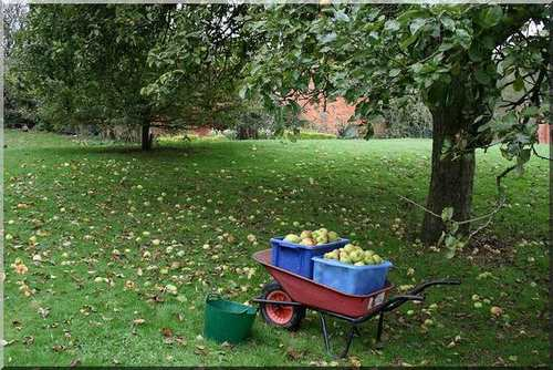 windfall apples on a mini farm