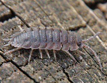 garden pests woodlice