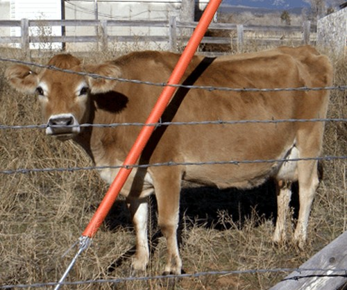 A Jersey cow in a fenced paddock
