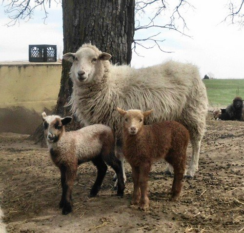 3 year old Navajo-Churro sheep Cup Cake and her 2 lambs.