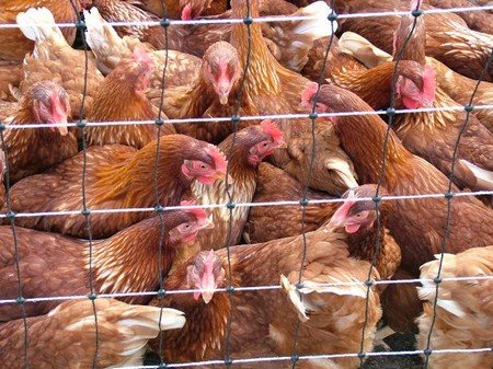 So called free range chickens all squashed up.