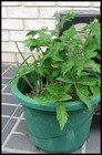 growing vegetables in containers thumbnail